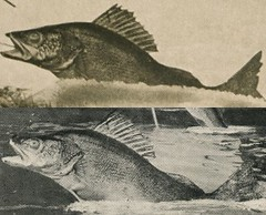Comparison of the Fish in Two Tall-Tale Postcards by Alfred Stanley Johnson, Jr. (Alan Mays) Tags: ephemera postcards talltalepostcards paper printed talltales exaggerations oversized giant fantasy mammoth huge pikes walleyes fish fishing humor humorous funny comic 1910s antique old vintage johnson asjohnsonjr alfredstanleyjohnsonjr alfredstanleyjohnson waupun wi wisc wisconsin postcardpublishers