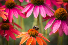 Flowers and a Bee (hey its k) Tags: hamilton hendrievalley flowers burlington ontario canada ca img2376e canon6d royalbotanicalgardens bee echinacea