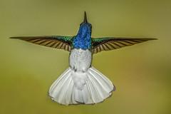 White-necked jacobin (Eric Gofreed) Tags: costarica hummingbird ranchonaturlalista whiteneckedjacobin