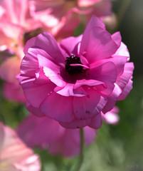 Lolly Pink (Jocey K) Tags: newzealand spring bankspeninsula akaroa flowers ranunculus