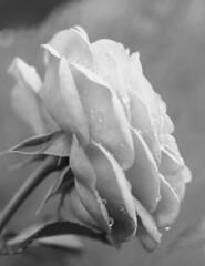 Morning rose (velvetmeadow) Tags: rose flower blackandwhite bw bokeh dewdrops dew droplets monochrome silky inbloom monochromebokehthursday morning macro velvetmeadow