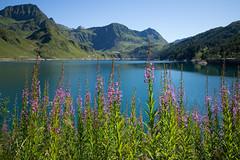 Schmalblttriges Weidenrschen @ Lago Ritom (TI) (Toni_V) Tags: m2400822 rangefinder messsucher leicam mp typ240 28mm elmaritm hiking wanderung randonne escursione ticino tessin ritomsee lagoritom alps alpen landscape bergsee stausee mountainlake dof bokeh alpenblumen blumen flowers schmalblttrigesweidenrschen weidenrschen switzerland schweiz suisse svizzera svizra europe alperitom toniv 2016 160813 piora valpiora