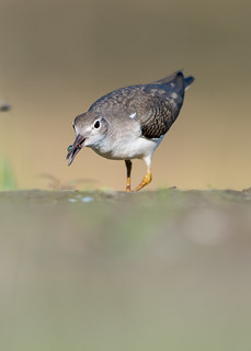 Chevalier grivelé -  Actitis macularius - Spotted Sandpiper