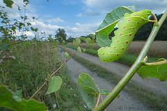Poplar Hawk-moth caterpillar I (Franziska Bauer) Tags: laothoepopuli lepidoptera sphingidae pappelschwrmer schwrmer august summer raupe caterpillar metamorphose metamorphosis poplarhawkmoth