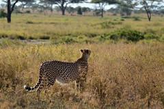 PWS_6803 (paulshaffner) Tags: dorobo safaris dorobosafaris serengeti safari studyabroad education abroad tanzania penn state pennstate biology pennstatebiology