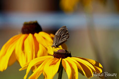 IMG_4847 (Alexis Bouery) Tags: papillon macro macrophotographie