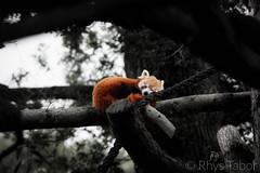 Red Panda (rhystabor) Tags: red panda zoo nature natural wildlife black white colour selective depth field focus sleeping awake peaking peeping marwell tired tree rope