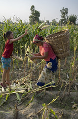 Farmer Oeli Rana gets help from her daughter Saksi to harvest her maize in Bageshori, Banke. (CIMMYT) Tags: nepal csisa cimmyt maize agriculture smallholder farmer mechanization asia