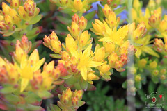 Morrisor Stonecrop (~~ Y.C.CHEN) Tags: plant yellow red flower green light beautiful bokeh canon color 7d nature marco