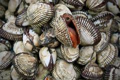 Open Clam (Mondmann) Tags: jagalchifishmarket busan korea clam shell mollusk seafood market fishmarket pusan southkorea rok republicofkorea asia eastasia food mondmann canonpowershotg7x