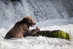 A little fishy (spwasilla) Tags: brownbear bear grizzly grizzlybear falls waterfall alaska brooksfalls katmainationalpark katmai wildlife water fish salmon