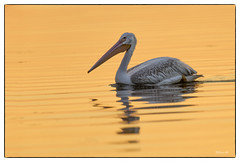 American White Pelican at Emiquon National Wildlife Refuge (Nikon66) Tags: pelican americanwhitepelican emiquonnationalwildliferefuge fultoncounty illinois nikon d800 600mmnikkor