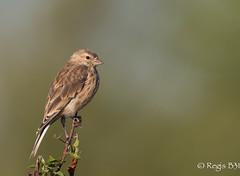 Mlodieuse... (Rgis B 31) Tags: cardueliscannabina commonlinnet fringillids linottemlodieuse passriformes arige bird domainedesoiseaux mazres oiseau