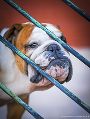 Bulldog (Giovanni Cordiale ) Tags: nikon flickr followme photo passion dog bulldog colors colorfull quality wallpaper effect summer endsummer 85mm bokeh addlike art amazing natural friend best human beauty bau magic morning picoftheday eyeofphotographer eyes focus portrait puppy like lightroom