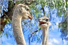 Avestruces (j3nni14) Tags: pajaro avestruz sudfrica