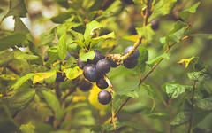 Outdoor-1201 (EbE_inspiration) Tags: 2016 serene outdoor fruit berry green