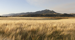 Wheat field souteast of Bozeman (Evan Barrientos Photography) Tags: agriculture bozeman gallatincounty highlandglentrail humanlandscapes montana northamerica places unitedstates wheat
