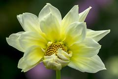 Shyness (PriscillaBurcher) Tags: dalia dahlia daliablanca whitedahlia florblanca whiteflower l1190342