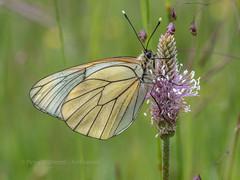 Black-veined White- Cevennes, France (ArtFrames) Tags: blackveinedwhite butterfly france papeur cevennes olympus digital camera 40150 28