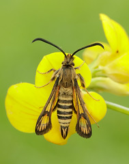 Six-belted Clearwing Bembecia ichneumoniformis (Iain Leach) Tags: birdphotography wildlifephotography photograph image wildlife nature iainhleach wwwiainleachphotographycom canon canoncameras photography canon1dx canon5dmk3 beauty beautiful beautyinnature macro macrophotography closeup butterfly moth lepidoptera insect invertebrate outdoors conservation sixbeltedclearwing bembeciaichneumoniformis clearwing clearwingmoth