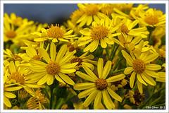 Little Rays of Sunshine (Seven_Wishes) Tags: uk coastal wildflowers newcastleupontyne tynewear ragwort seatonsluice