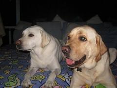 7915351910 d20db8ed5c m Hercules, Photos of my fun Yellow Labrador