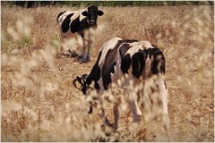 cows (sakizagaci) Tags: cow kos greece inek kosisland