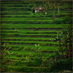 Green world (frata60) Tags: bali indonesia nikon sigma d200 f28 sawa 150mm flickraward nikonflickraward