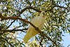 Sulphur crested cockatoo (Suse2906) Tags: bird australian cockatoo sulphurcrestedcockatoo