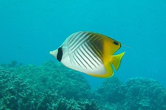 patterned (BarryFackler) Tags: ocean life sea fish nature water ecology animal coral fauna island hawaii polynesia bay marine underwater pacific being dive scuba diving sealife pacificocean marinebiology diver bigisland aquatic reef creature biology undersea kona 2012 ecosystem coralreef marinelife zoology seacreature butterflyfish organism honaunau konacoast hawaiicounty threadfinbutterflyfish southkona chaetodonauriga hawaiiisland honaunaubay marineecosystem westhawaii kikakapu barryfackler barronfackler cauriga