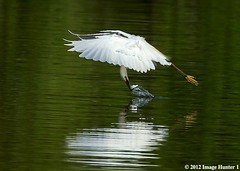 Fishing On The Fly (Image Hunter 1) Tags: fish reflection feet nature water birds yellow flying wings fishing louisiana feeding eating flight feathers bayou swamp marsh ripples prey shad wingspan snowyegret wingspread canoneos7d birdslouisiana bayoucourtableau