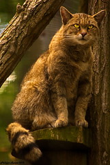 Chat perch (Phil du Valois) Tags: chat parc flin perch parcdesflins