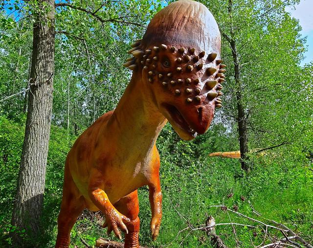minnesota southdakota montana northamerica wyoming fossils applevalley minnesotazoo pachycephalosaurus cretaceousperiod prehistoricadventure thickheadedlizard wwwmnzoocomdinos pakeesefalosoreus