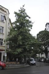 Berliner Bume in der Schneberger Strae 12163 Berlin - Steglitz (thmlamp) Tags: berlin germany deutschland outdoor indoor gwb inoutdoor guessedberlin  erikistderbeste gwbatineb ratenmachtspas 15092012
