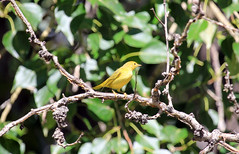 Yellow Warbler (K Fletcher) Tags: canada calgary bird yellow song alberta warbler