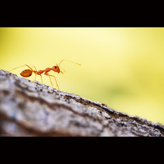 Knight Ant (-clicking-) Tags: macro nature beautiful beauty dof natural bokeh ant insects knight lovely redant côntrùng bestcapturesaoi conkiến elitegalleryaoi