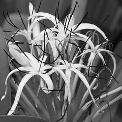 _MG_0727 (Mary Susan Smith) Tags: travel vacation flower hawaii holidays thebigisland spiderlily bigmomma crinumasiaticum thechallengefactory hawaiianbotanicalgardens tcfwinner gamesweepwinner 27717oldmamalahoahighwaypapaikou