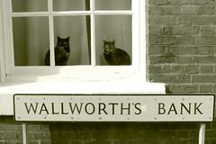 cat burglars (Broady - Salford art and photography) Tags: street cats pussy congleton broady catburglars blackwhitephotos memorycorner memorycornerportraits congleton2012
