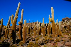 Isle of Cactus in the Salar of Uyuni - Bolivia (Werner_B) Tags: trip blue summer vacation cactus southamerica nature beautiful photography photo foto fotografie desert image picture bolivia bild altiplano landsacpe oruro potosi tunupa wernerbuchel