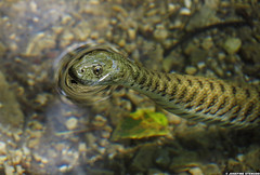 20120605_36 Cute dice snake (Natrix tessellata) looking out of the water! :D | Plitvice Lakes National Park, Croatia (ratexla) Tags: life travel vacation favorite lake holiday cute travelling nature water beautiful animal animals wow cool europe earth reptile snake wildlife lakes croatia backpacking journey traveling biology snakes epic vatten interrail animalplanet semester orm reptiles 2012 zoology hrvatska plitvice interrailing reptil tellus sj kroatien djur organism nonhumananimals plitvicelakes eurail plitvicelakesnationalpark tgluff ormar plitvikajezera vilda sjar reptiler dicesnake natrixtessellata europaeuropean almostanything nonhumananimal tgluffning cmwd cmwdgreen tgluffa ratexla rutsnok eurailing photosbyjosefinestenudd photophotospicturepicturesimageimagesfotofotonbildbilder theeternityset canonpowershotsx40hs 5jun2012 ratexlasinterrailtrip2012 resaresor tgresatgresor