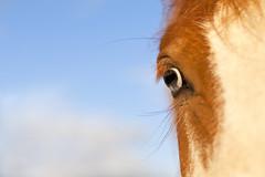 Window to the Soul (Sunna Gautadttir) Tags: blue sky horses horse cloud macro eye beautiful animal animals clouds canon eos 50mm amazing eyes dof 50mm14 5d icelandic windowtothesoul sunna icelandichorse icelandichorses sunnaphotography sunbeam93 sunnagautadttir