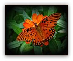 for Anna on her birthday (mimbrava) Tags: orange butterfly mimbrava arr medium dorsal allrightsreserved gulffritillary agraulisvanillae metroatlantaga mimeisenberg mimbravastudio