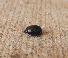 Histeridae>Saprinus Round Green Hister Beetle 201209170052e (Bill & Mark Bell) Tags: exmouth westernaustralia australia geo:town=exmouth geo:state=westernaustralia geo:country=australia geo:lon=11425453egeolat2217752sgeoalt8m 11425453e2217752salt8m taxonomy:kingdom=animalia animalia taxonomy:phylum=arthropoda arthropoda taxonomy:class=insecta insecta taxonomy:order=coleoptera coleoptera taxonomy:family=histeridae histeridae taxonomy:genus=saprinus saprinus taonomycommonnameroundgreenhisterbeetle roundgreenhisterbeetle insect beetle