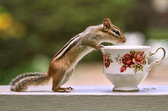 Tea Time with Chipper (Peggy Collins) Tags: interestingness tea bokeh explore chipmunk curious teacup teatime gettyimages chipmunks curiousity chinateacup fancyteacup peggycollins sailsevenseas