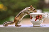 Tea Time with Chipper (Peggy Collins) Tags: interestingness tea bokeh explore chipmunk curious teacup teatime gettyimages chipmunks curiousity chinateacup fancyteacup peggycollins sailsevenseas