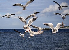 Invasion... (Seastars world) Tags: sea seagulls bird beach nature birds animal strand germany deutschland see seagull natur flight balticsea mwe ostsee mwen kiel falkenstein apis laboe kielerfrde frde falckenstein laboenavalmemorial kielfjord falkensteinerstrand flightshots falckensteinerstrand canon55250 canoneos1000d laboerehrenmal