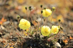 Yellow Arctic Poppies Wrangel Island UNESCO World Heritage Site Russia (In Memoriam Ngaire Hart) Tags: wood travel flowers sea cloud abandoned ice expedition nature yellow iceage canon landscape island drums eos frozen ancient rust russia timber unique wildlife documentary unescoworldheritagesite naturalhistory arctic erosion huts adventure polarbear icepack mammoth getty remote cormorant polar botany volcanic fareast walrus climate isolated tundra gravel reportage scientific snowyowl muskox arcticfox guillemot wrangelisland landbridge chukchisea chukotka berengia polarregion arcticdesert arcticpoppies heritageexpeditions eriagn ngairelawson spritofenderby travellingvicariously papavergorodkovii