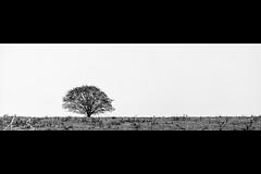 The Lone Tree (sachman75) Tags: blackandwhite bw tree rural sunrise landscape farm country farmland bathurst minimalist canon70200mmf28is canon5dmarkii