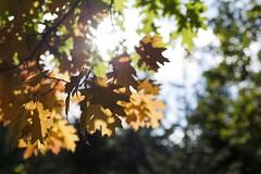 October Leafs (Sascha Bentz) Tags: autumn brown oktober sun 3 fall nature canon germany eos leaf nice october warm mark iii herbst natur 5d braun blatt leafs sonne wald bltter gegenlicht herbstlich pflzer naturfoto