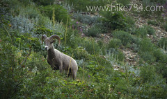 """Bighorn Sheep • <a style=""""font-size:0.8em;"""" href=""""http://www.flickr.com/photos/63501323@N07/8048317490/"""" target=""""_blank"""">View on Flickr</a>"""